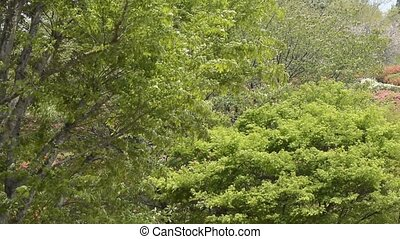 Zelkova and maple trees - Fresh green zelkova and mapleacer...