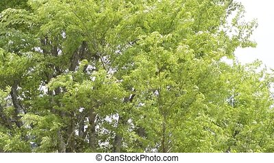 Zelkova tree swaying - Fresh green zelkova tree swaying in...