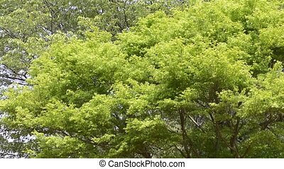 Maple tree swaying - Fresh green maple tree (acer palmatum)...