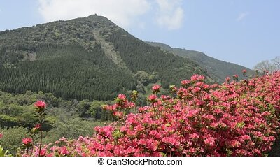 Red azalea and hill - Red azalea blossom in front of green...