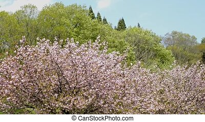 Full blossoms cherry - Full blooming pink double cherry...