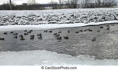 Ducks on the river in winter.