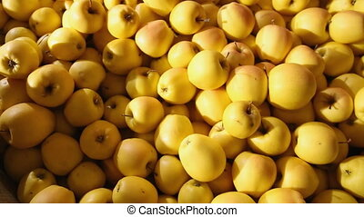 large amount yellow apples closeup