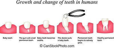 Growth and shift teeth in humans Stages of development of...