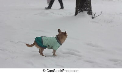 chihuahua at winter day - 1 - chihuahua dog at snowy winter...