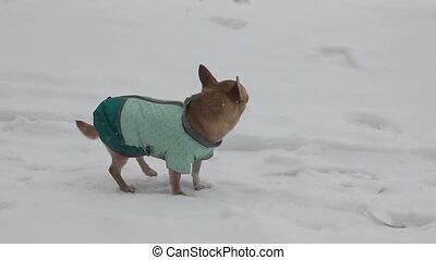 chihuahua at winter day - 2