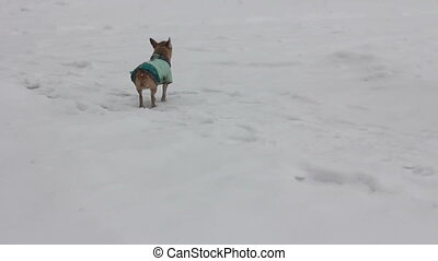 chihuahua at winter day - 4 - chihuahua dog at snowy winter...