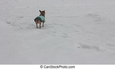 chihuahua at winter day - 4