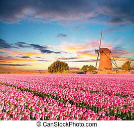 Vibrant tulips field with Dutch windmill, Netherlands....
