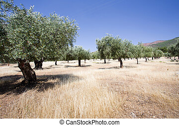 Olive groves at hilly area on Thassos, Greece