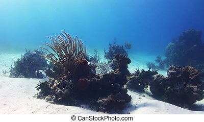 Thickets of corals on the white sandy bottom - Thickets of...