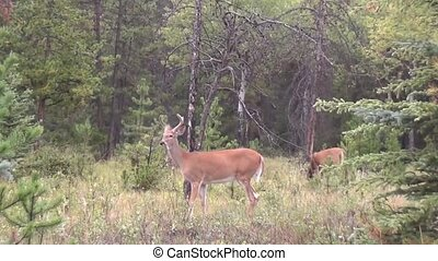 Three deer in the forest