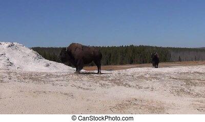 Bison next to geyser