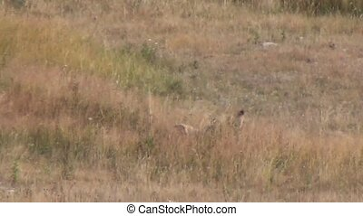 Coyote attacking a prey in Yellowstone National Park