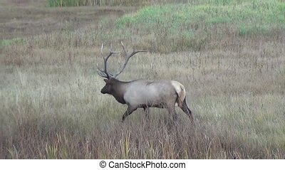 Big elk walking in nature - Big elk walking in Yellowstone...