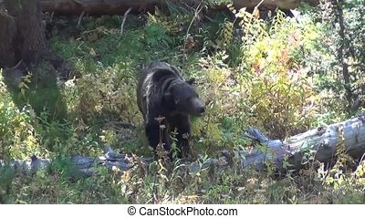 Walking grizzly bear - Grizzly bear walking in the forest