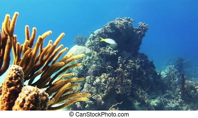 Soft coral growing on the reef in Bahamas - Soft coral...
