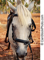 closeup portrait of white horse face with harness