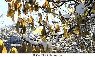 Closeup, first snow on a branch with autumn maple leaves