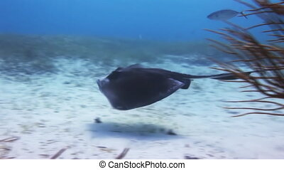 Stingray in search of food on sandy bottom of sea - Stingray...