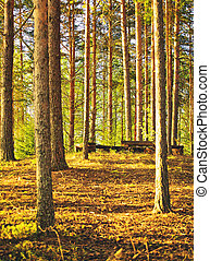 Pine Forest at Summer