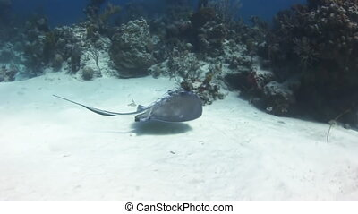 Stingray in search of food buried in the sand Amazing,...