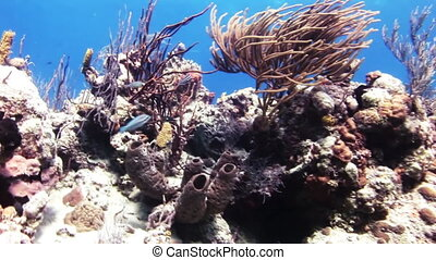 The colorful coral fish swim in Bahamas. - The colorful...