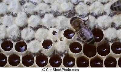 Work bees in hive - Bees convert nectar into honey and close...