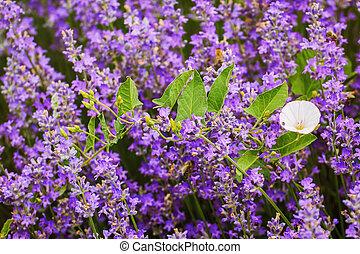 Convolvulus Arvensis Field Bindweed among Lavender Flowers
