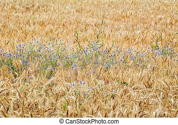 Cornflowers in Rye - Cornflowers in a Field of Rye