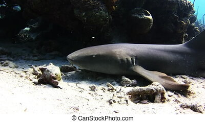 Shark swimming on the reef in search of food Amazing,...