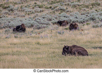 American Bison - American bison in Yellowstone National...