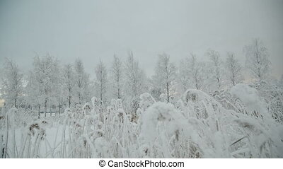 Snow covered branch. - Snow covered branch against defocused...