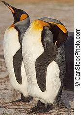 King Penguin Resting - King Penguin Aptenodytes patagonicus...