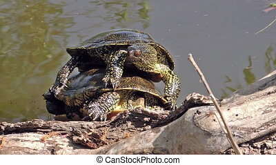 Turtles on the shore - Freshwater turtles mating on the...