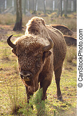 European bison (Latin: Bison bonasus) outside in the zoo