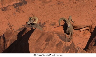 Desert Bighorn Rams - a pair of desert bighorn sheep rams