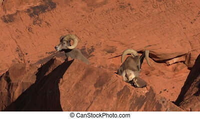 Desert Bighorn Sheep rams - a pair of desert bighorn sheep...