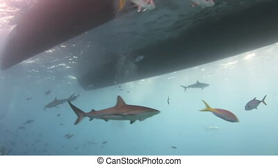 Shark searching for food under the bottom of ship.