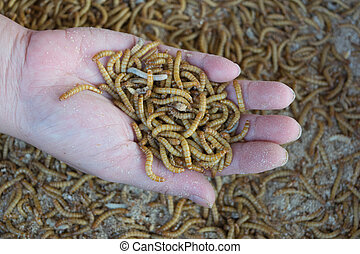 Mealworm in hand - Mealworm on asia hand in worm farm