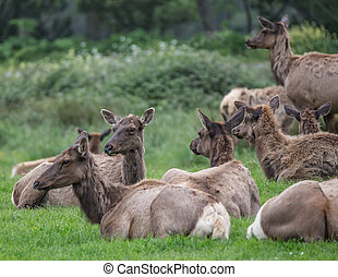 Coastal Elk - Elk Herd in California Near Orick