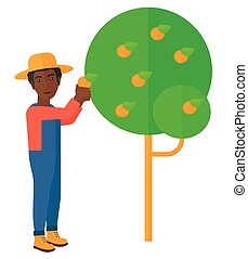 Farmer collecting oranges.