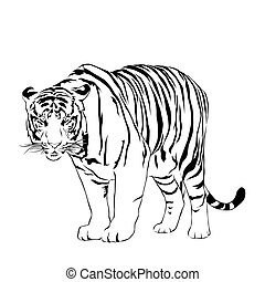Tigers stare victim. Victor - Vector illustrator EPS 10