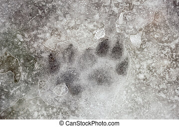 Animal Foot Prints Under the Ice - Animal footprint in the...
