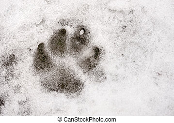 Animal Print on the Snow - Animal footprint in the frozen...