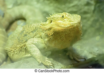 Bearded Dragons - The bearded dragons take in a zoo