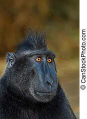 Celebes crested macaque as black monkey, Sulawesi, Indonesia