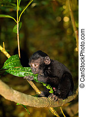 Celebes crested macaque - small baby of Celebes crested...