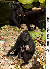 Celebes crested macaque as black monkey, mother with baby,...