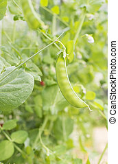 Green pea plant growing in greenhouse